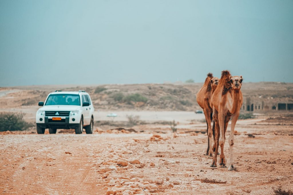road trip through wahiba sands desert in a 4wd with camels walking by