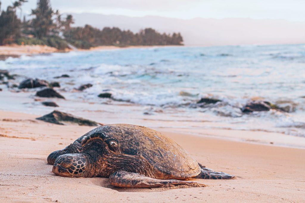 turtle on a beach at ras al jinz reserve