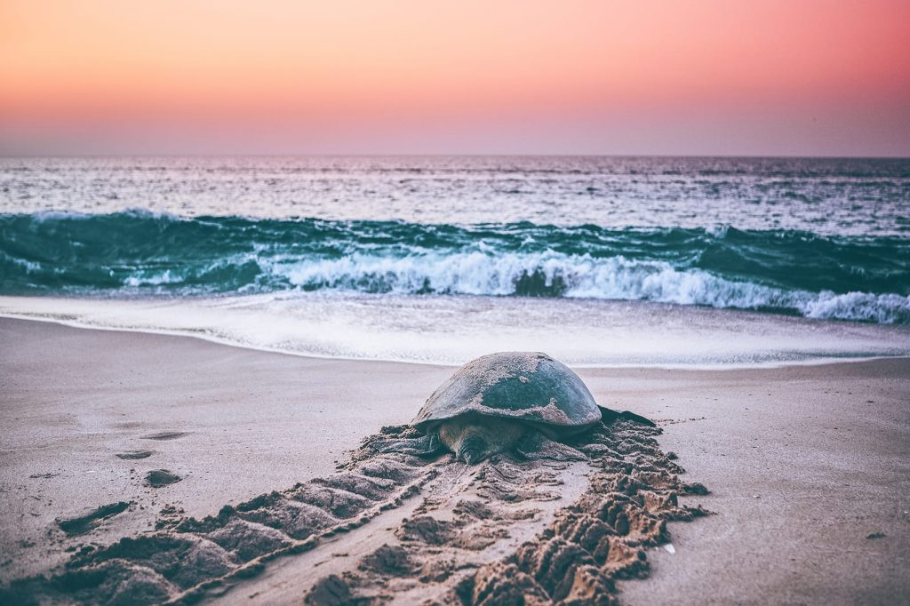 turtle walking back to ocean at ras al jinz reserve during sunrise