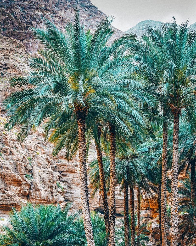 palm trees in wadi shab