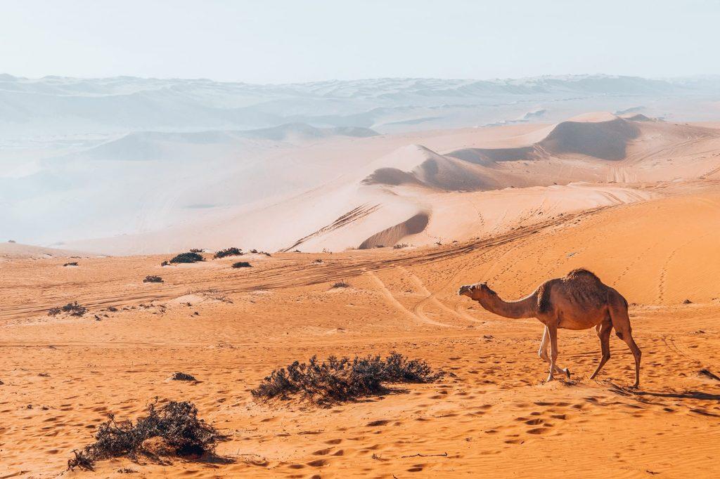 camel at wahiba sands desert