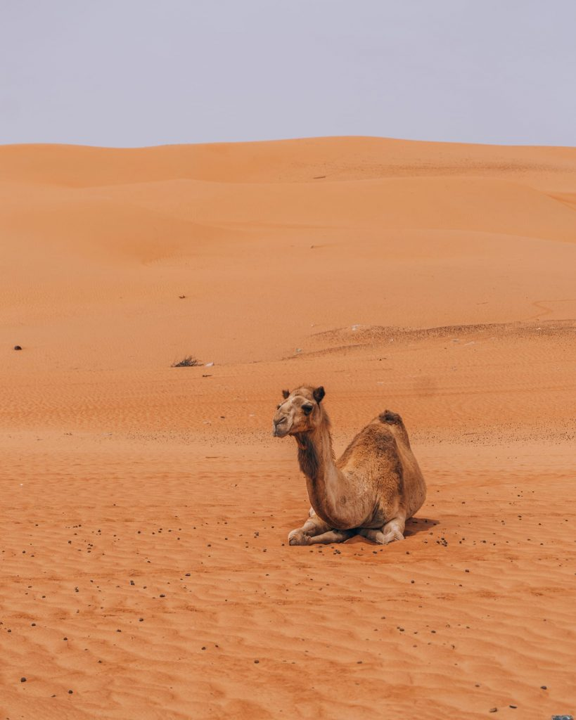 camel sitting in wahiba sands desert in oman