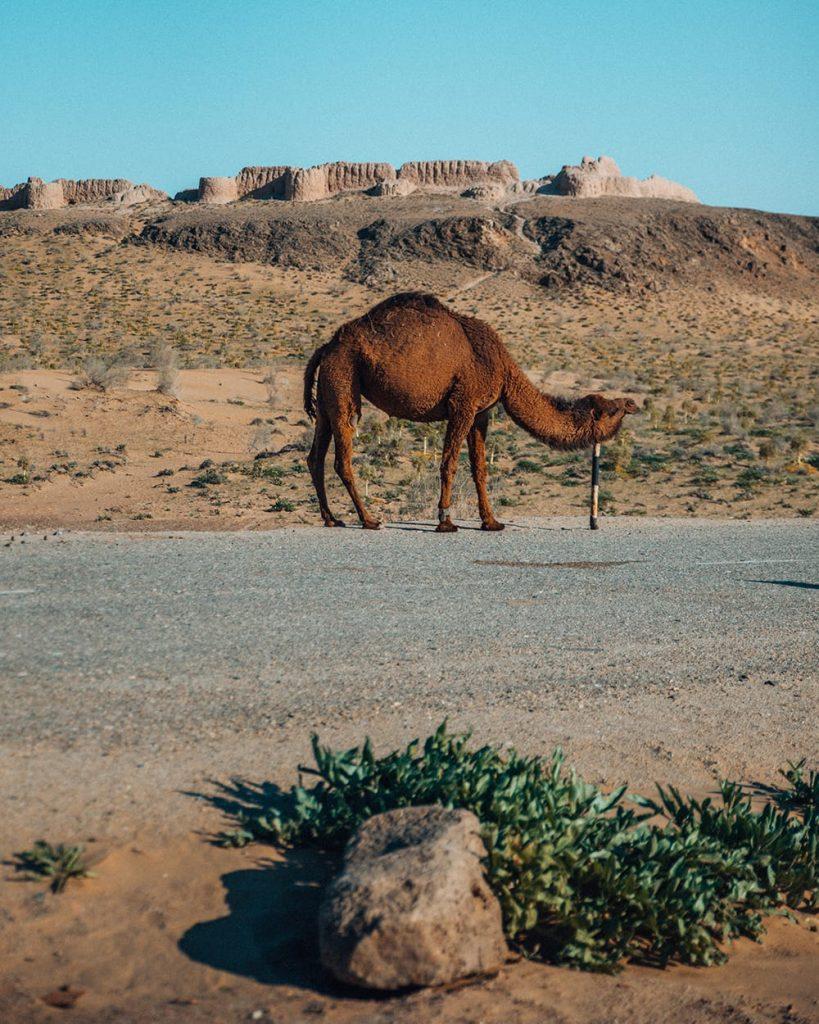 camel in desert tuprakkala in uzbekistan