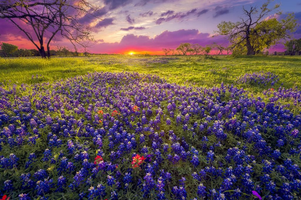 Sunrise on a Field of Flowers in the Texas Hill Country