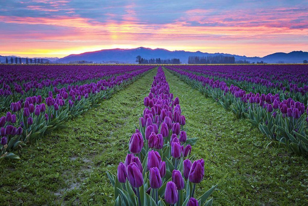 Purple Tulips in Skagit Valley, La Conner, Washington